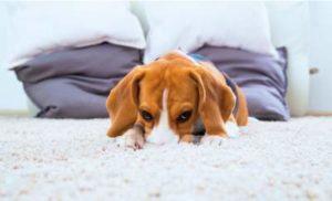 carpet odour treatment north shore